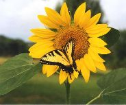 Single Sunflower with Butterfly